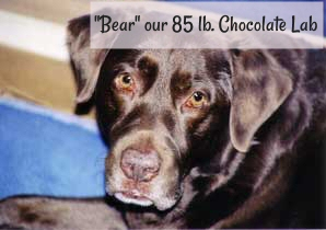 """Bear"" our 85 lb. Chocolate Lab"